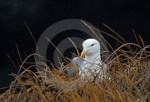 Western Gull (Larus Occidentalis) Takes A Break Stock Images - Image: 17175444