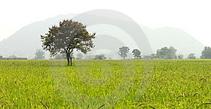 Tree On Rice Farms Royalty Free Stock Photos - Image: 17189848