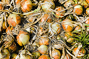 Assembled Onions Royalty Free Stock Images - Image: 17195409