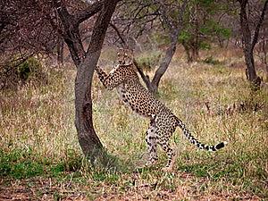 Cheetah Up Against Tree Stock Image - Image: 17195571