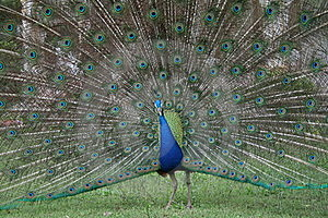 Peacock Royalty Free Stock Photography - Image: 17197267