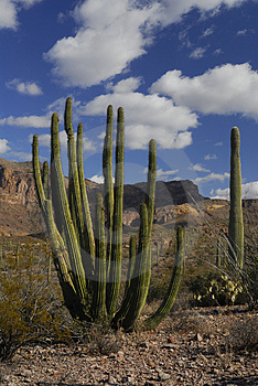 Organ Pipe And Saugaro Cactus Royalty Free Stock Photos - Image: 1721658