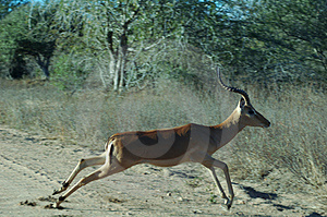 Impala Royalty Free Stock Photography - Image: 1722497