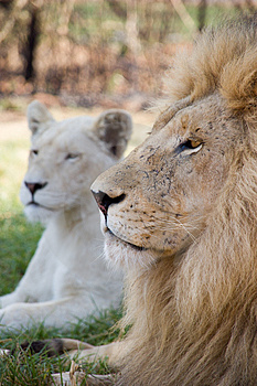 Resting Lion Stock Images - Image: 1722854