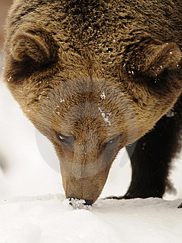 Brown Bear ( Ursus Arctos ) Royalty Free Stock Photos - Image: 17201378