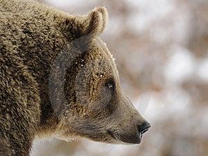 Brown Bear ( Ursus Arctos ) Royalty Free Stock Photography - Image: 17201437