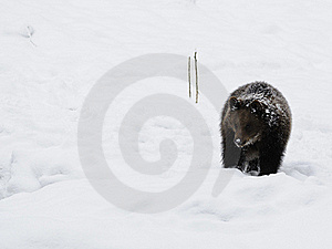 Little Brown Bear In Winter Landscape Stock Photography - Image: 17201472