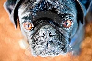 Pug Stare Royalty Free Stock Images - Image: 17202409