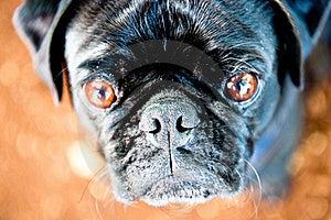 Stare Pug Стоковые Изображения RF - изображение: 17202409