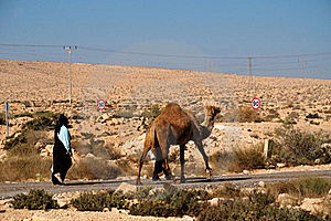 Camel  On Parallel Road Royalty Free Stock Photo - Image: 17203275