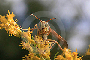 Paper Wasp (Polistes Aurifer) Stock Photography - Image: 17206052