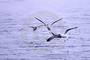 Three Gulls Fight For Fish. Stock Photos - Image: 17207993
