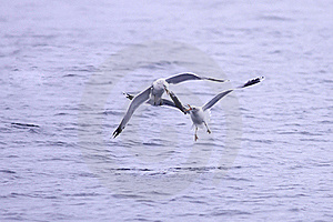 Two Gulls Fight For Fish. Stock Photo - Image: 17208000