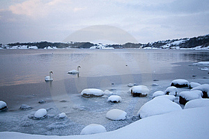Cold Winter Swans Stock Image - Image: 17214271