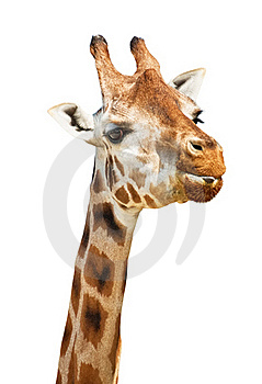 Giraffe Head Sly Look Royalty Free Stock Images - Image: 17217619