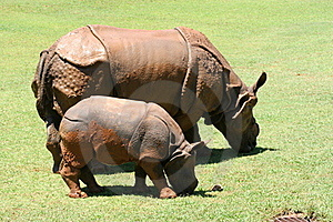 Ceratotherium Simum African Rhinocerus Royalty Free Stock Photos - Image: 17219688
