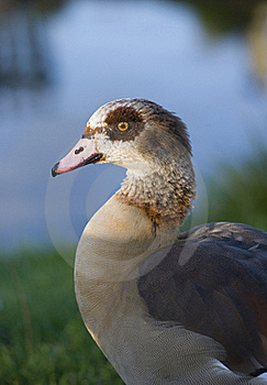 Egyptian Goose Stock Photos - Image: 17235723