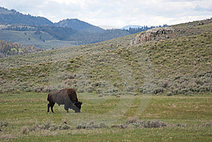 American Bison Royalty Free Stock Image - Image: 17238126