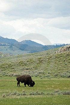 American Bison Stock Image - Image: 17238131