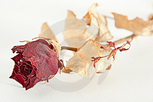 Dried Rose Royalty Free Stock Image - Image: 17264276