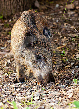 Young Wild Boar Stock Photo - Image: 17268260