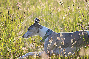 Whippet Running Through Meadow Royalty Free Stock Photos - Image: 17274548