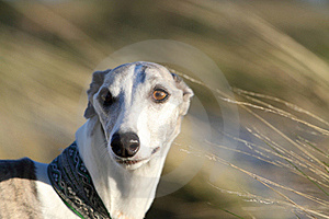 Whippet In The Wind Royalty Free Stock Photography - Image: 17274607
