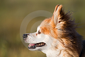 Old Mixed Breed Dog At Sunset Stock Image - Image: 17274631