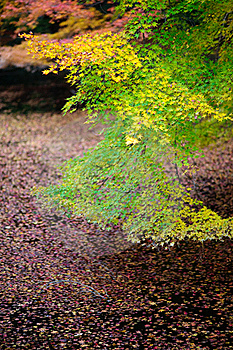 Japan Maple Kyoto 03 Royalty Free Stock Photos - Image: 17286918