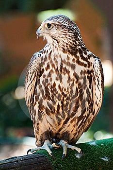 Saker Falcon Stock Photo - Image: 17289610