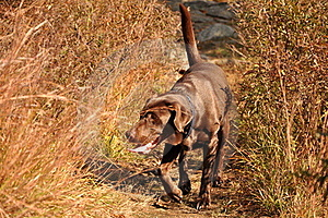 Chocolate Labrador Royalty Free Stock Photo - Image: 17298125