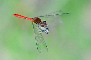 Red Dragonfly Royalty Free Stock Photo - Image: 17298475