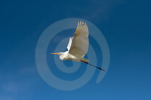 Great Egret In Flight / Ardea Alba Stock Photography - Image: 17301012