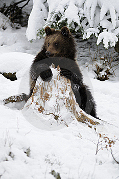 Little Brown Bear In Winter Landscape Royalty Free Stock Images - Image: 17302559