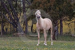 Arabian Horse Stock Images - Image: 17315334