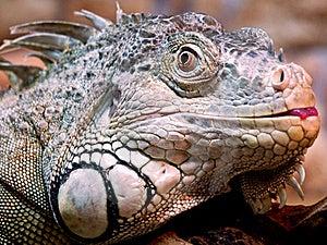 Iguana Royalty Free Stock Photos - Image: 17316548