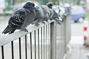 Doves Royalty Free Stock Photos - Image: 17317688