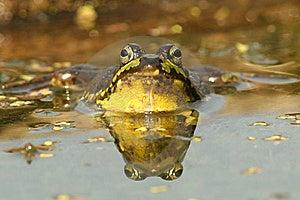 Green Frog (Rana Clamitans) Stock Photos - Image: 17318913