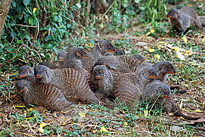 Mongoose Group  Lying Together With Cubs, Uganda Stock Photo - Image: 17325070