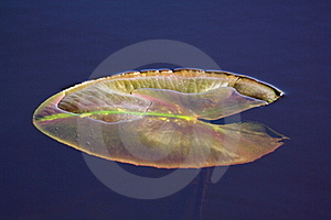 Leaf Of Water-lily Stock Photo - Image: 17325480