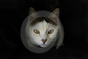 Regarder Blanc De Chat Photographie stock libre de droits - Image: 17329167