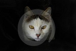 El Mirar Fijamente Blanco Del Gato Fotografía de archivo libre de regalías - Imagen: 17329167