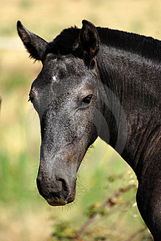 Black Foal Stock Photography - Image: 17334832