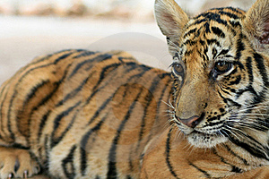 Baby Tiger Stock Images - Image: 17336404