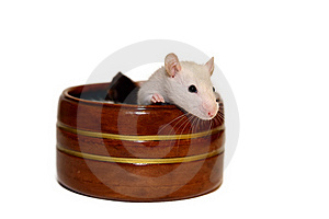 Cute Baby Rat Sitting In Jewelery Box Stock Images - Image: 17344384