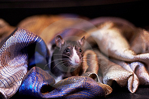 Cute Black And White Rat Hiding In A Scarf Royalty Free Stock Photo - Image: 17345095
