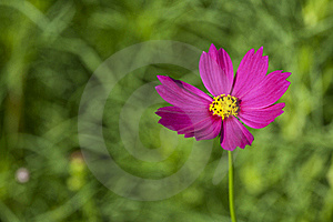 Cosmos Flowers Royalty Free Stock Photo - Image: 17345185