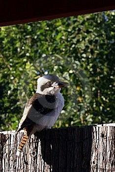 Kookaburra Royalty Free Stock Image - Image: 17346186