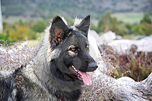 Shiloh Shepherd Royalty Free Stock Photo - Image: 17373505