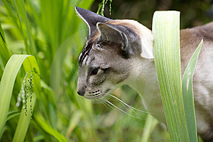 Siamese Cat Walking Through Garden Stock Photos - Image: 17373523